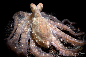 Octopussy, Lembeh strait, Sulawesi. by Filip Staes
